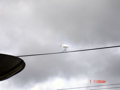 white bird2.jpg